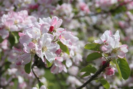 blossom-by-Jem