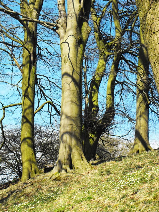 trees-and-snowdrops