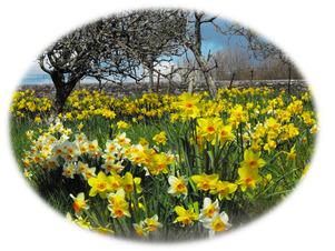 daffodils-Dartmoor3 2