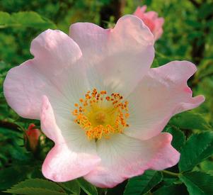 wild-rose-cmyk
