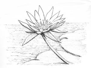 Lotus-drawing